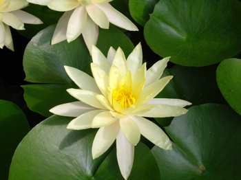 lotus_flower_relaxation.jpg
